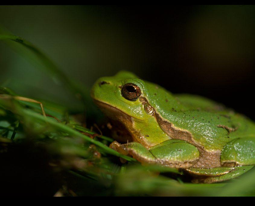 la rainette verte